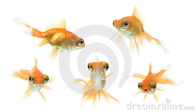 Demekin Goldfish Series