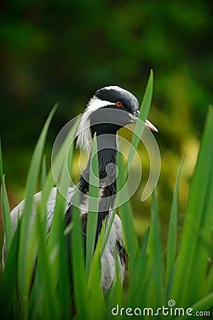 Free Demoiselle Crane, Anthropoides Virgo, Bird Hiden In Grass Near The Water. Detail Portrait Of Beautiful Crane. Bird In Green Nature Royalty Free Stock Photo - 100110245