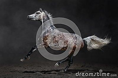 Den gråa arabiska hästen galopperar på mörk bakgrund