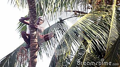 Den indiska mannen med repknipor hugger av palmträdstammen över jordning arkivfilmer