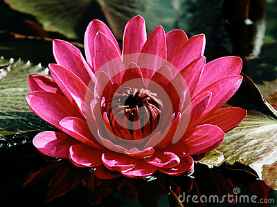 Den rosa näckrosen på ett mörkerdamm bland gräsplan lämnar