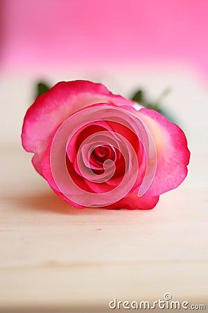 Den rosa rosa blomman föreställer - lagerföra foto