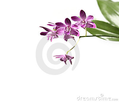 Dendrobium orchids flowers isolated on white
