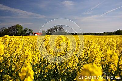 Denmark Rapes field