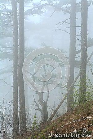 Dense fog in summer pine forest