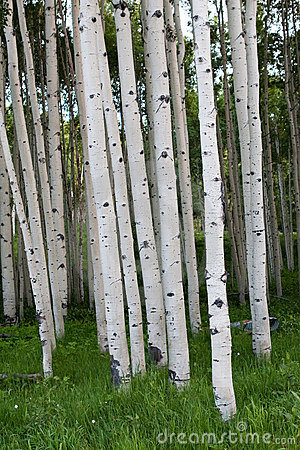 Dense group of Quaking Aspen Trees