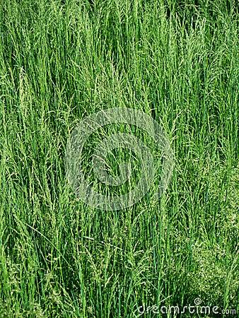Dense, lush green grass