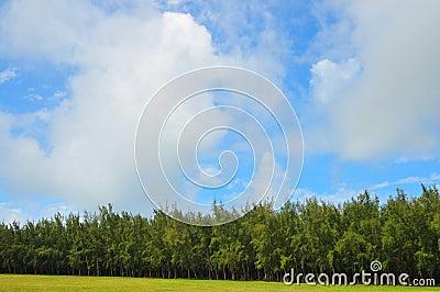 Dense Pine Trees