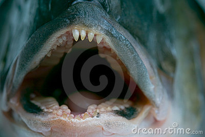 Dentes de espreitamento