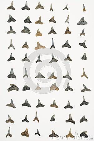 Dentes do tubarão