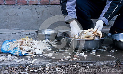 Deplumation of Chicken