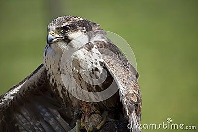 Depredador del pájaro