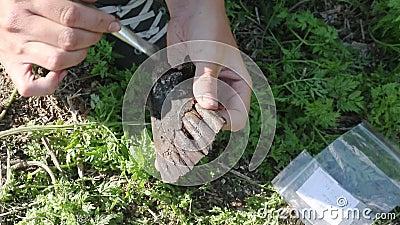 Der Archäologe klärt die Entdeckung - den Kiefer eines Elchs, der im mittelalterlichen lebte stock footage