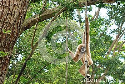 Der braune Gibbon