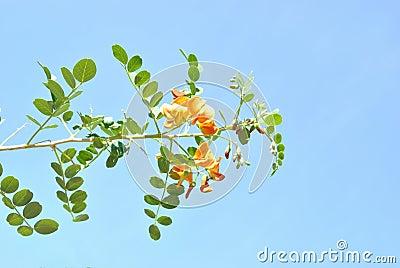 Der Colutea mit pinnate Blättern und orange Blumen