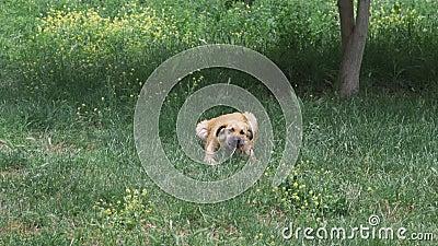 Der Hund liegt im grünen Gras und frisst Knochen mit Fleisch stock footage