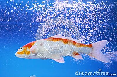 Der koi karpfen im aquarium stockbild bild 7111401 for Koi im aquarium