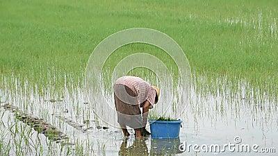 Der Landwirt ist eine Frau tragen einen Hut, der Reispflanze im Reisfeld mit den Sumpfgebieten an BangYai-Park, Nonthaburi in Tha stock video footage