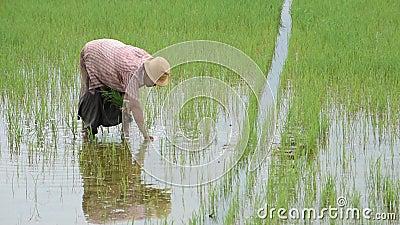 Der Landwirt ist eine Frau tragen einen Hut, der Reispflanze im Reisfeld mit den Sumpfgebieten an BangYai-Park, Nonthaburi in Tha stock video