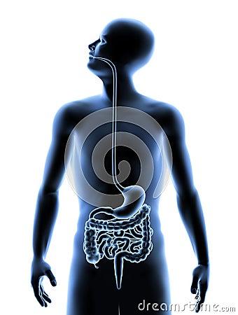 Der menschliche Körper - Verdauungssystem