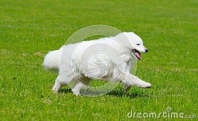 Der Samoyedhund