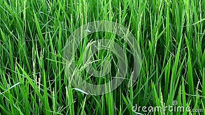 Der Wind, der Reis bläst stock video