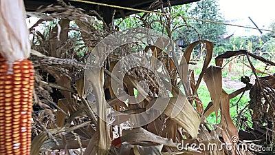 Des épis de maïs jaunes sont attachés par paquets et séchés sous un auvent en bois clips vidéos