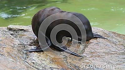 Des petits phoques à fourrure sont joués avec une baguette posée sur une pierre banque de vidéos