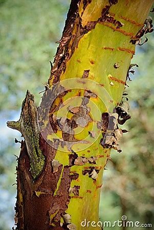 Descascando a árvore de eucalipto da casca.