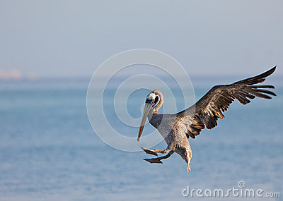 Descending Peruvian Pelican