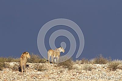 Desert African lions