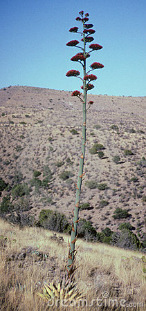 Desert Agave Bloom