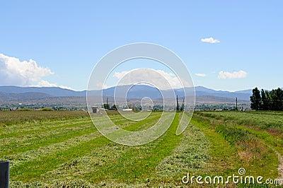 Desert Alfalfa Field
