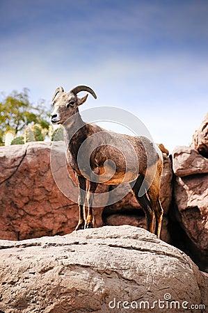 Desert Big Horn Sheep