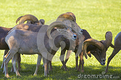 Desert Bighorn Rams