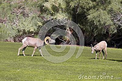 Desert Bighorn in Rut