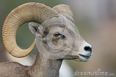 Desert Bighorn Sheep Ram Portrait