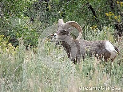 Desert Bighorn Sheep in southwest Utah