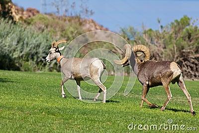 Desert Bighorns in Rut