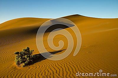 Desert bush