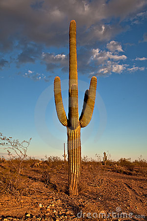 Free Desert Cactus Royalty Free Stock Photography - 21530127