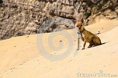 Desert chihuahua