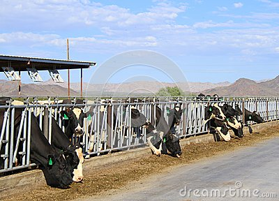 Desert Dairy farm Editorial Image