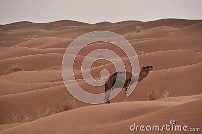 Desert dromedar