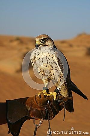 Desert falconry