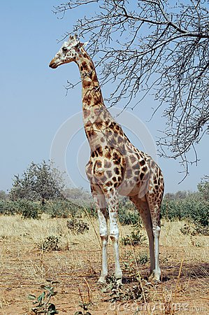 Desert giraffe looking left