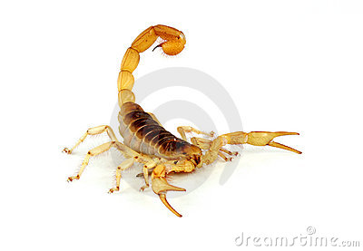 Desert Hairy Scorpion.