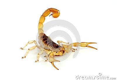 Desert Hairy Scorpion.