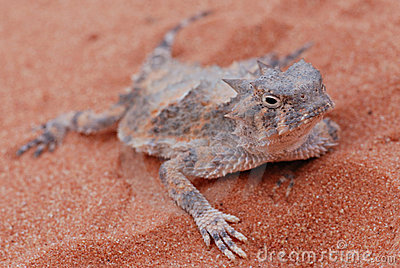 Desert horned lizard at valley of fire