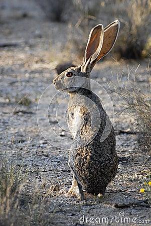 Free Desert Jackrabbit In Saguaro National Park Royalty Free Stock Photo - 3659215